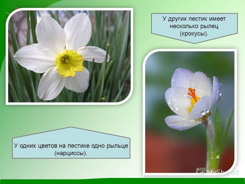 У одних цветов на пестике одно рыльце (нарциссы). У других пестик имеет несколько рылец (крокусы).