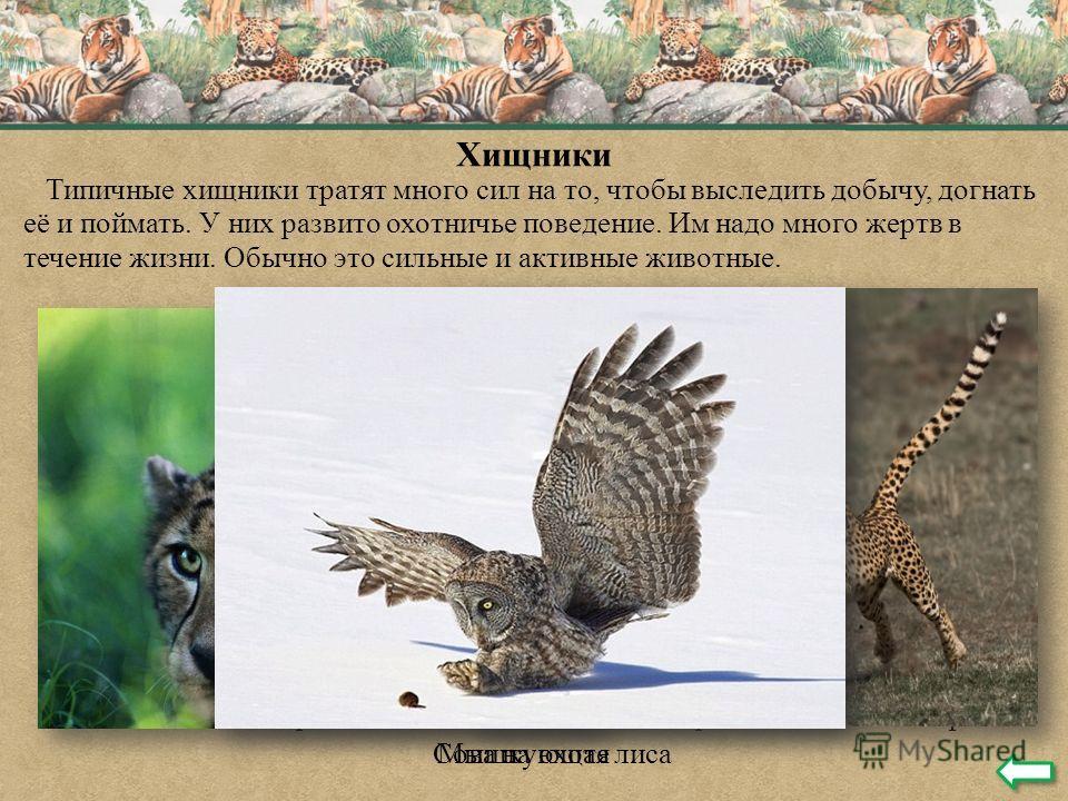 Хищники Типичные хищники тратят много сил на то, чтобы выследить добычу, догнать её и поймать. У них развито охотничье поведение. Им надо много жертв в течение жизни. Обычно это сильные и активные животные. Подкрадывающийся гепард Гепард на охоте Мыш