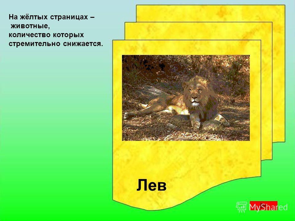 На жёлтых страницах – животные, количество которых стремительно снижается. Амурский тигр Морж