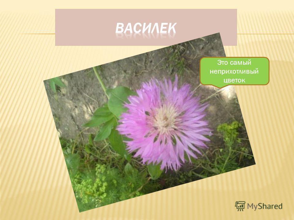 Этот цветок можно посадить в тени плодовых деревьев