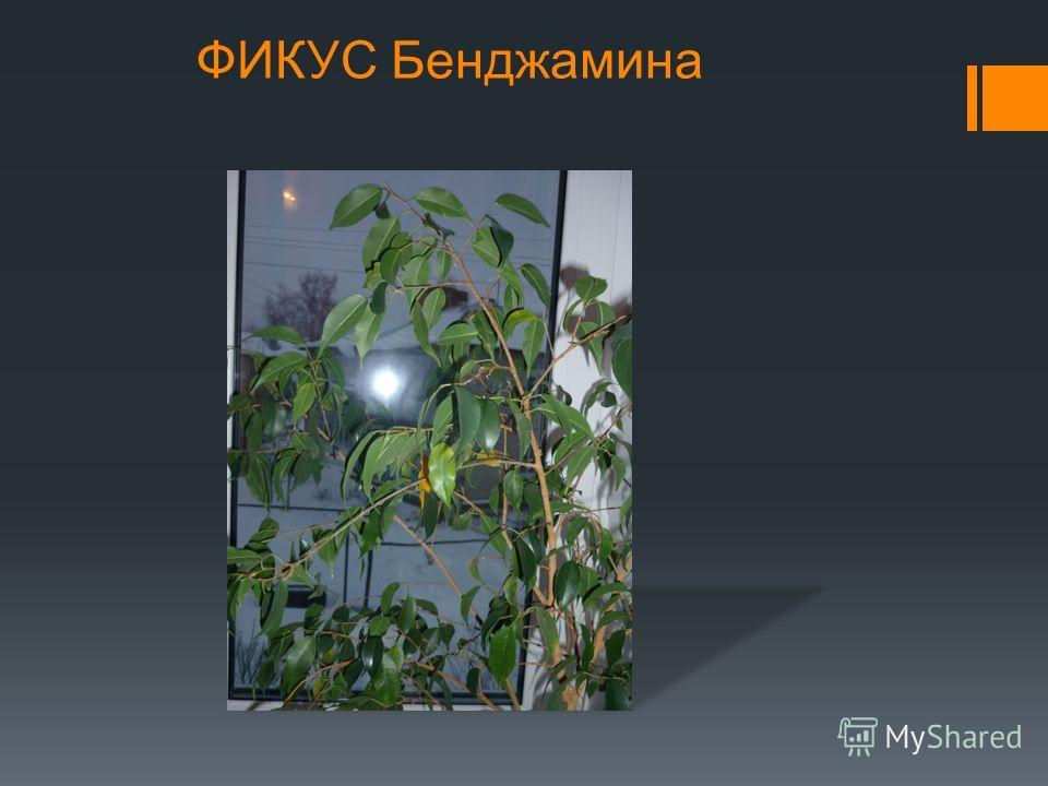Мои комнатные растения ВЕНЕРИН ВОЛОС - АДИАНТУМ ОРХИДЕЯ
