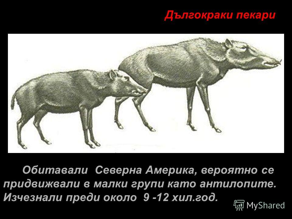 Обитавали Северна Америка, вероятно се придвижвали в малки групи като антилопите. Изчезнали преди около 9 -12 хил.год. Дългокраки пекари