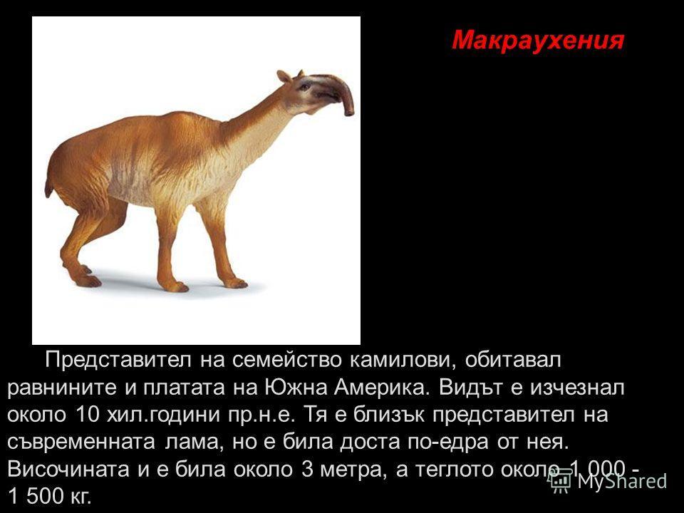 Макраухения Представител на семейство камилови, обитавал равнините и платата на Южна Америка. Видът е изчезнал около 10 хил.години пр.н.е. Тя е близък представител на съвременната лама, но е била доста по-едра от нея. Височината и е била около 3 метр