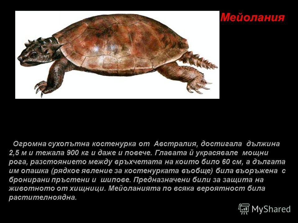 Мейолания Огромна сухопътна костенурка от Австралия, достигала дължина 2,5 м и тежала 900 кг и даже и повечe. Главата й украсявале мощни рога, разстоянието между връхчетата на които било 60 см, а дългата им опашка (рядкое явление за костенурката въоб