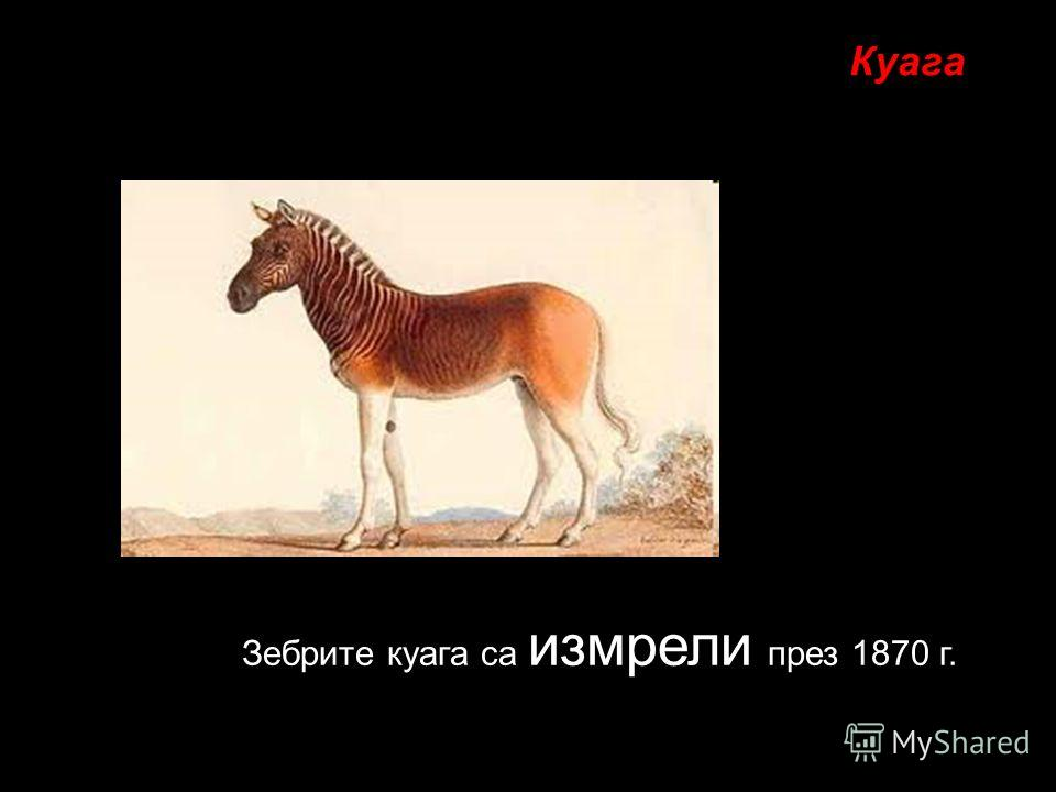 Зебрите куага са измрели през 1870 г. Куага