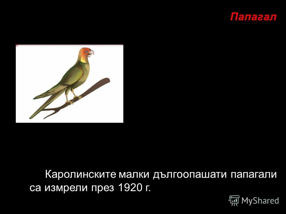 Каролинските малки дългоопашати папагали са измрели през 1920 г. Папагал
