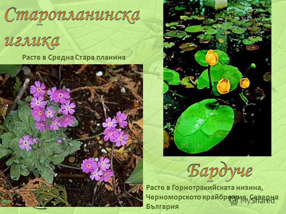 Расте в Средна Стара планина Расте в Горнотракийската низина, Черноморското крайбрежие, Северна България