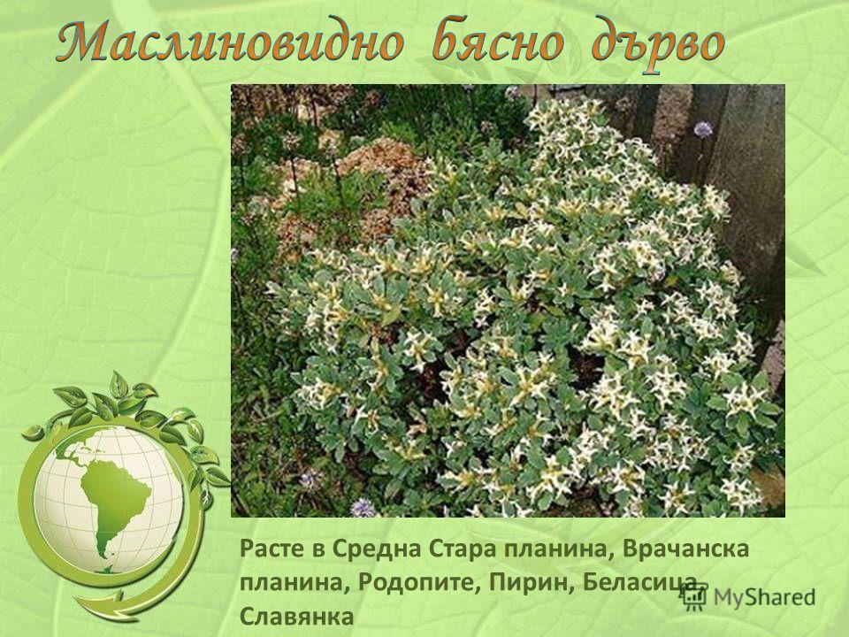 Расте в Средна Стара планина, Врачанска планина, Родопите, Пирин, Беласица, Славянка
