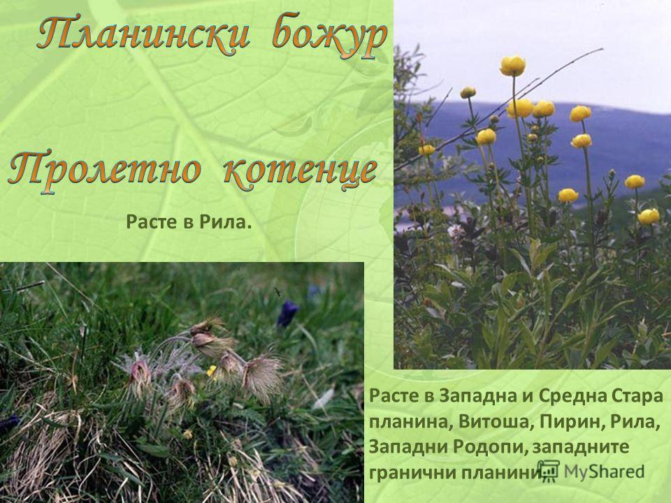 Расте в Рила. Расте в Западна и Средна Стара планина, Витоша, Пирин, Рила, Западни Родопи, западните гранични планини.