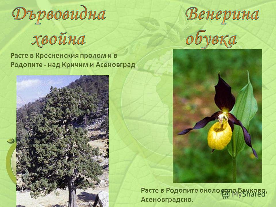 Расте в Кресненския пролом и в Родопите - над Кричим и Асеновград Расте в Родопите около село Бачково, Асеновградско.