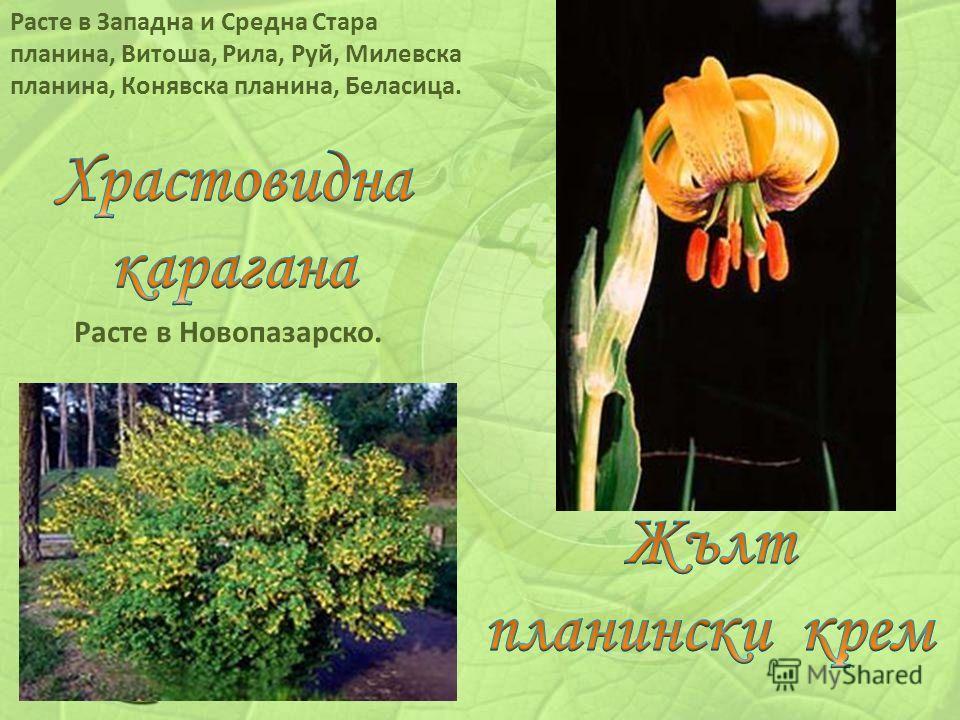 Расте в Новопазарско. Расте в Западна и Средна Стара планина, Витоша, Рила, Руй, Милевска планина, Конявска планина, Беласица.