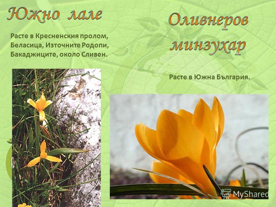 Расте в Кресненския пролом, Беласица, Източните Родопи, Бакаджиците, около Сливен. Расте в Южна България.