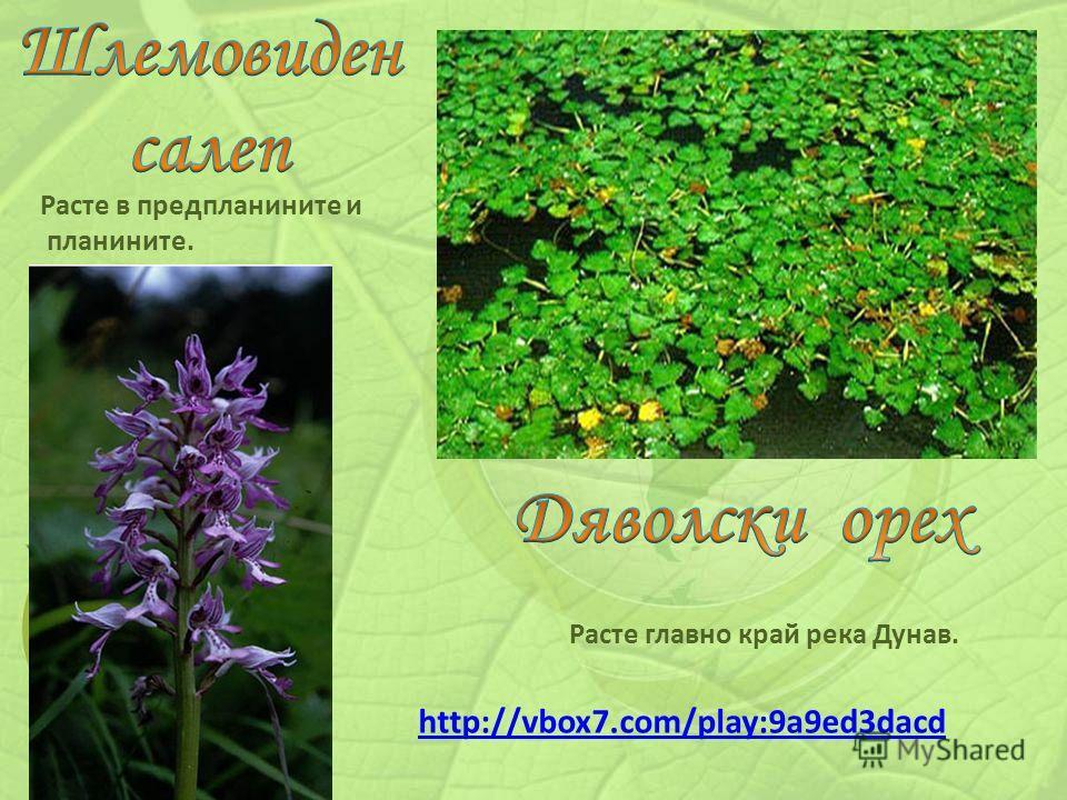 Расте в предпланините и планините. Расте главно край река Дунав. http://vbox7.com/play:9a9ed3dacd