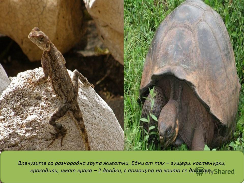 Влечугите са разнородна група животни. Едни от тях – гущери, костенурки, крокодили, имат крака – 2 двойки, с помощта на които се движат.