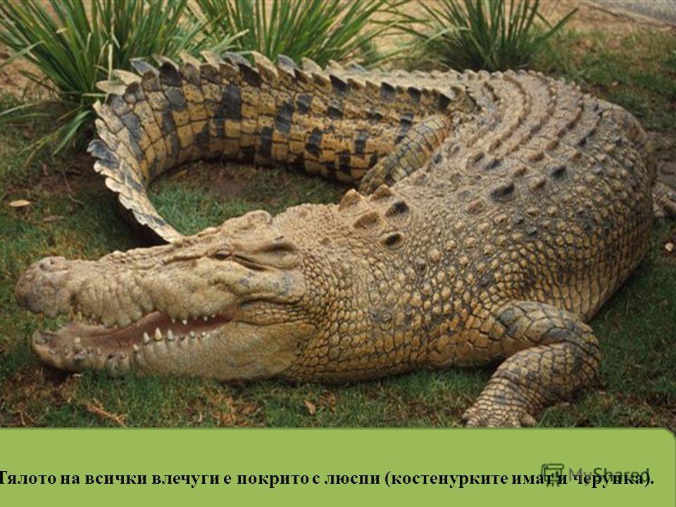 Тялото на всички влечуги е покрито с люспи (костенурките имат и черупка).