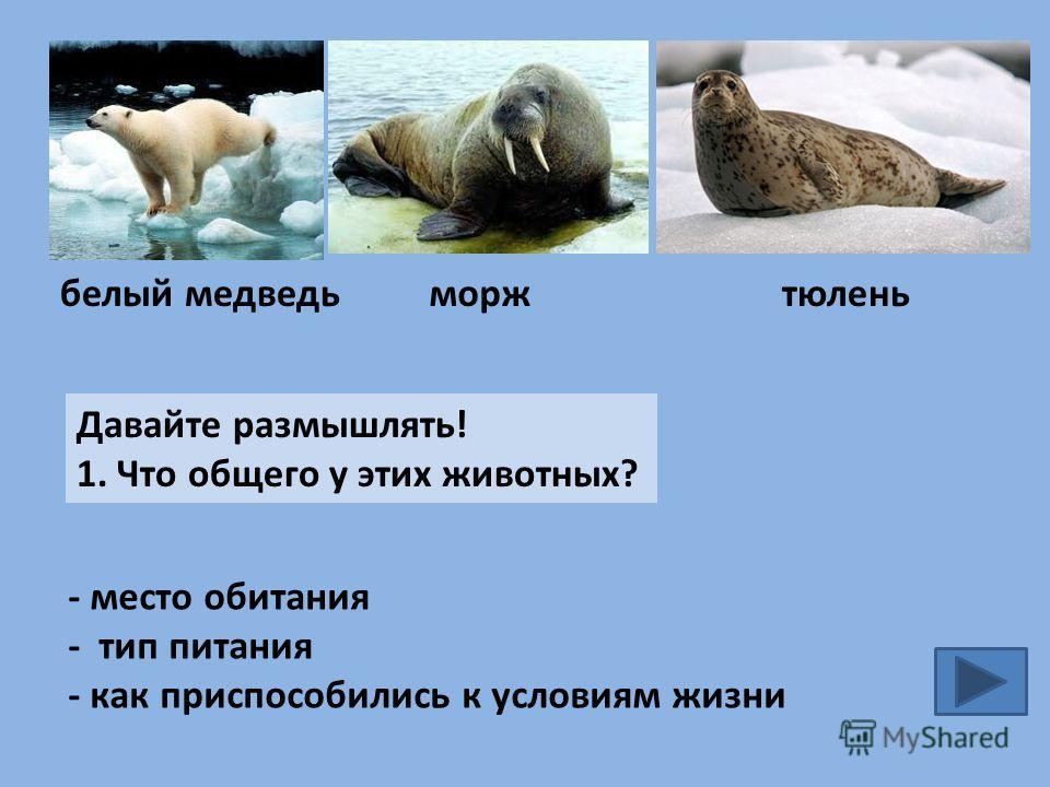 белый медведьморжтюлень Давайте размышлять! 1. Что общего у этих животных? - место обитания - тип питания - как приспособились к условиям жизни