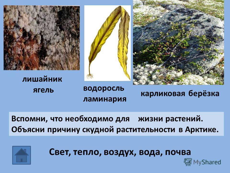 водоросль ламинария карликовая берёзка лишайник ягель Вспомни, что необходимо для жизни растений. Объясни причину скудной растительности в Арктике. Свет, тепло, воздух, вода, почва