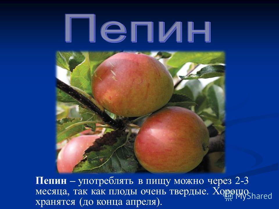 Пепин – употреблять в пищу можно через 2-3 месяца, так как плоды очень твердые. Хорошо хранятся (до конца апреля).