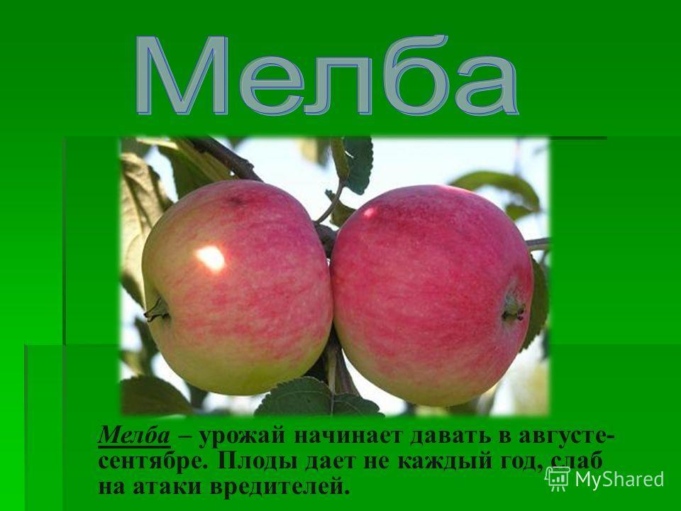 Мелба – урожай начинает давать в августе- сентябре. Плоды дает не каждый год, слаб на атаки вредителей.
