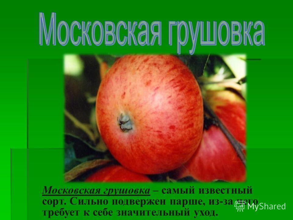Московская грушовка – самый известный сорт. Сильно подвержен парше, из-за чего требует к себе значительный уход.