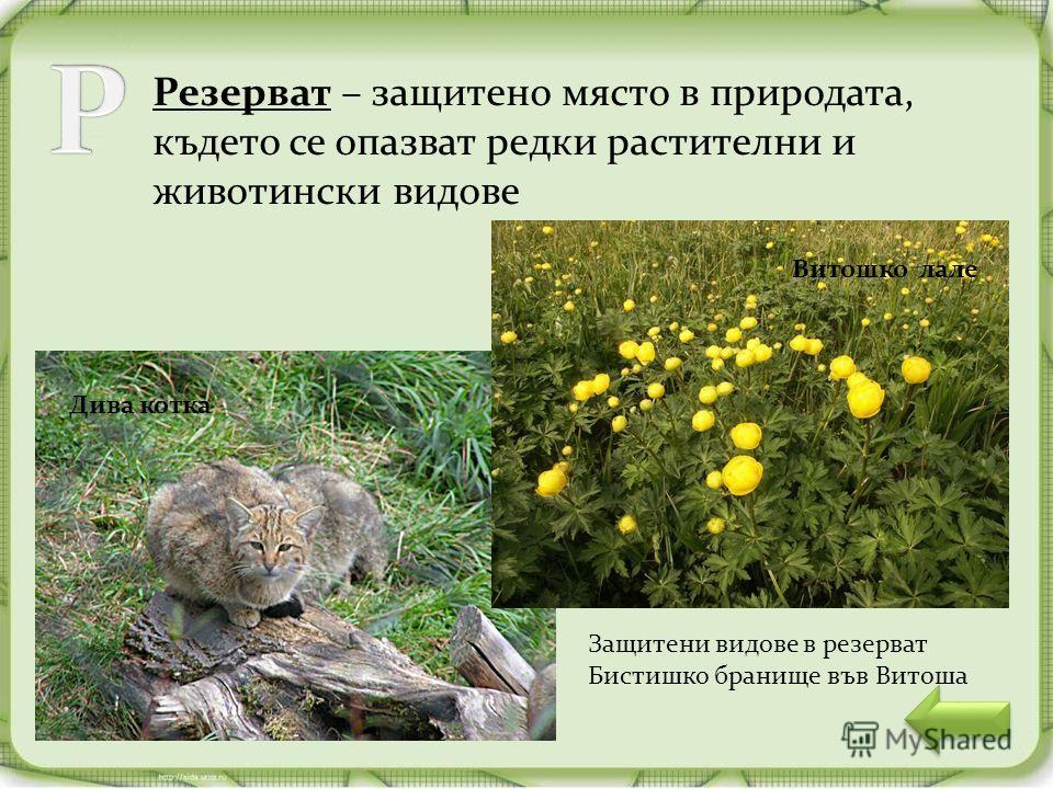 Резерват – защитено място в природата, където се опазват редки растителни и животински видове Витошко лале Дива котка Защитени видове в резерват Бистишко бранище във Витоша