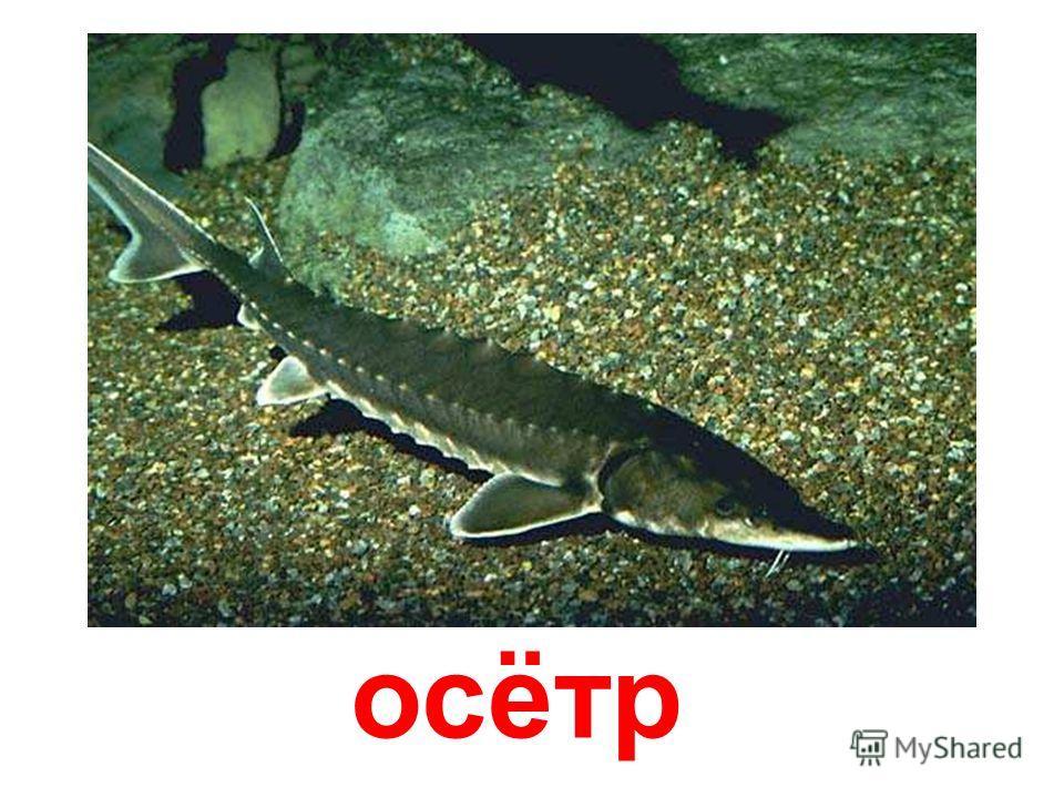 лосось Лосось