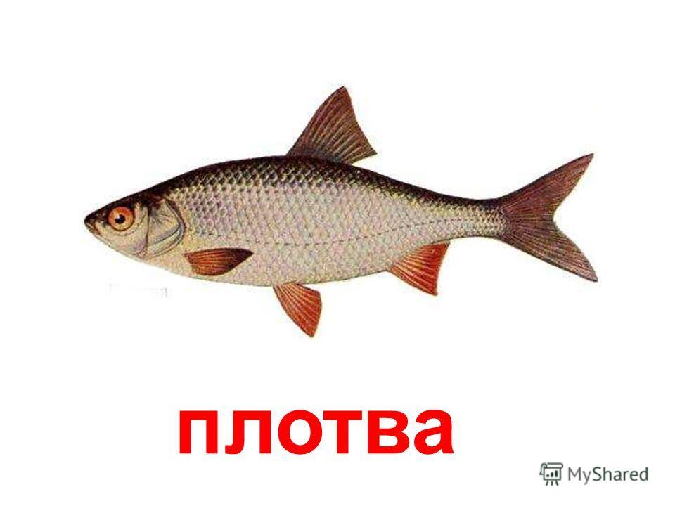 толстолобик Толстолобик