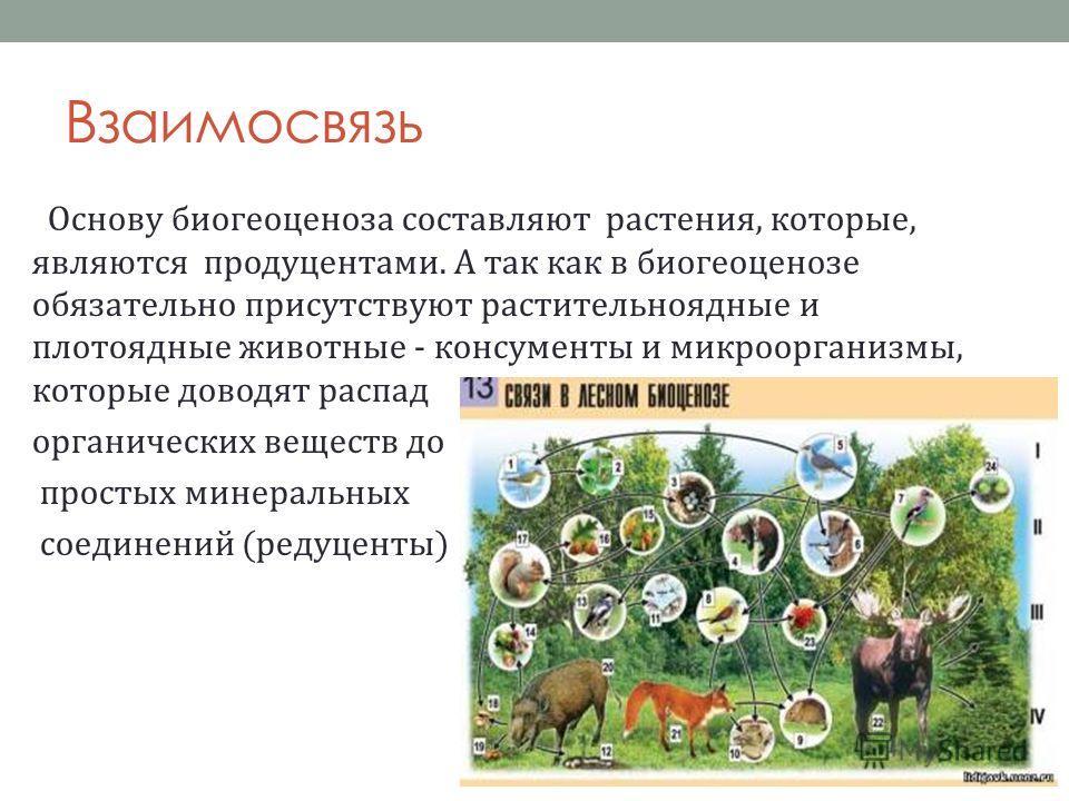 Взаимосвязь Основу биогеоценоза составляют растения, которые, являются продуцентами. А так как в биогеоценозе обязательно присутствуют растительноядные и плотоядные животные - консументы и микроорганизмы, которые доводят распад органических веществ д