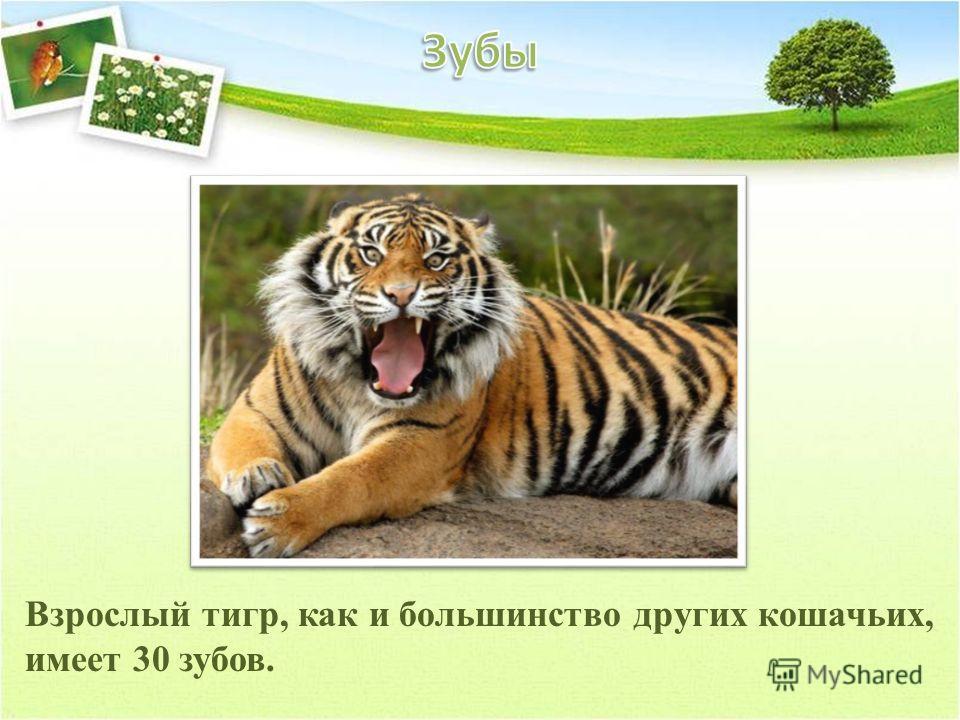 Взрослый тигр, как и большинство других кошачьих, имеет 30 зубов.
