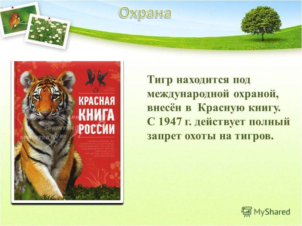 Тигр находится под международной охраной, внесён в Красную книгу. С 1947 г. действует полный запрет охоты на тигров.