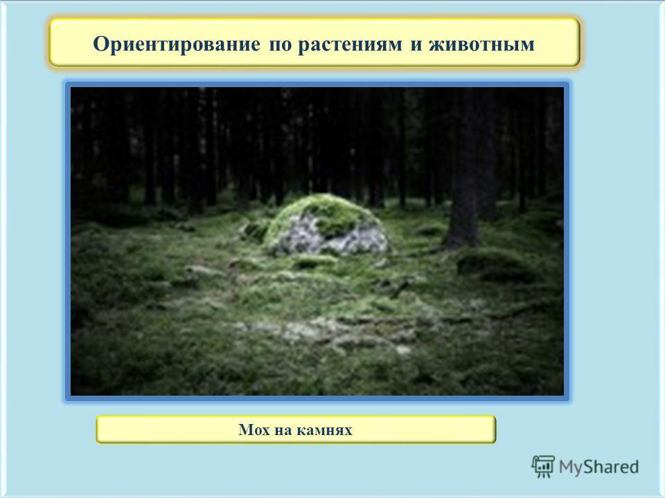 Ориентирование по растениям и животным Мох на камнях