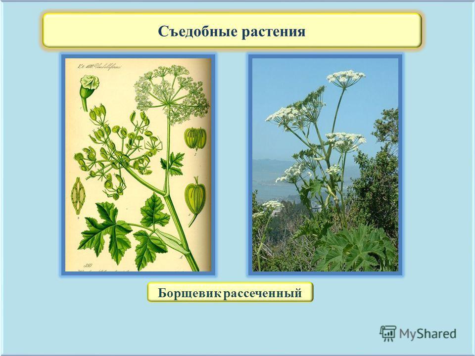 Съедобные растения Борщевик рассеченный