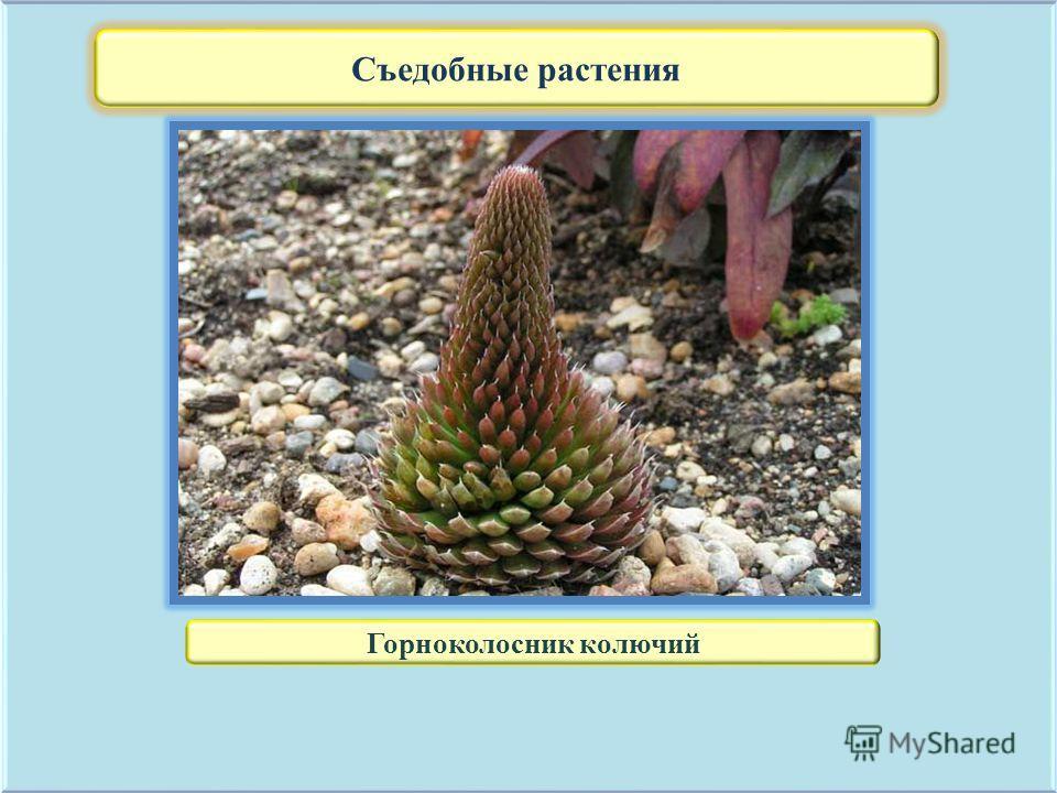 Съедобные растения Горноколосник колючий