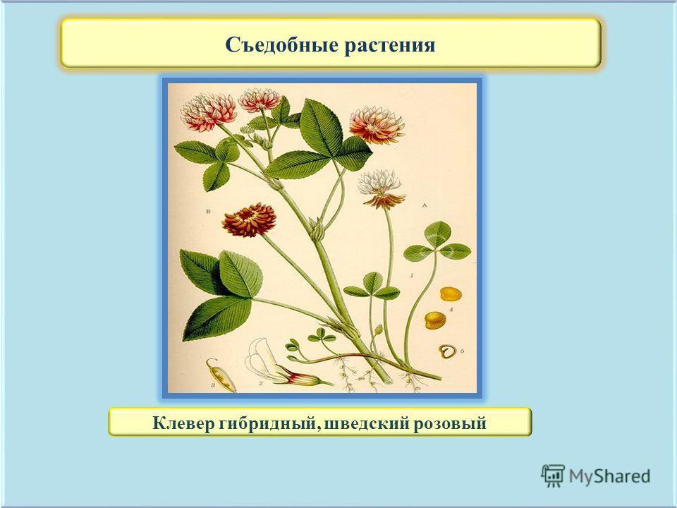 Съедобные растения Клевер гибридный, шведский розовый