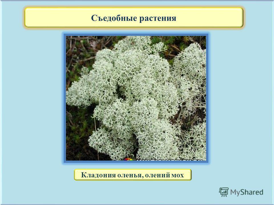 Съедобные растения Кладония оленья, олений мох