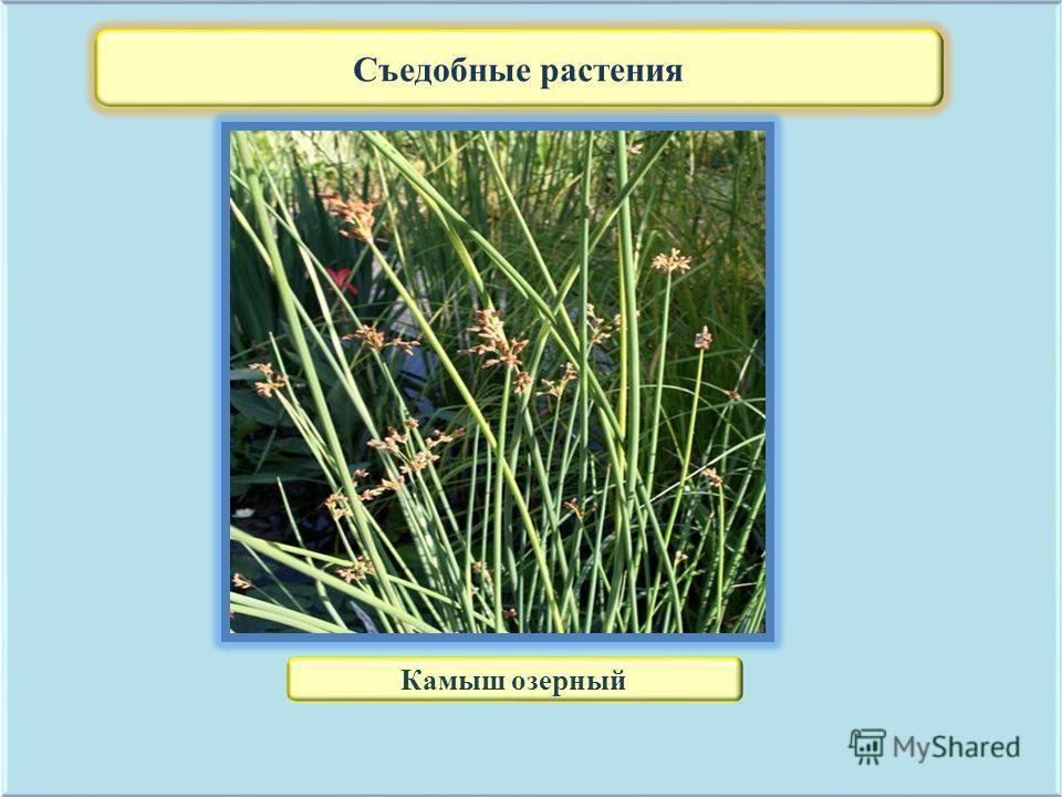 Съедобные растения Камыш озерный