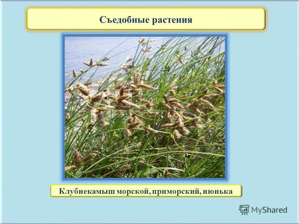 Съедобные растения Клубнекамыш морской, приморский, нюнька