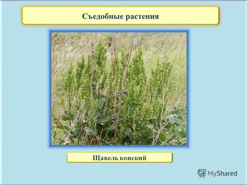 Съедобные растения Щавель конский