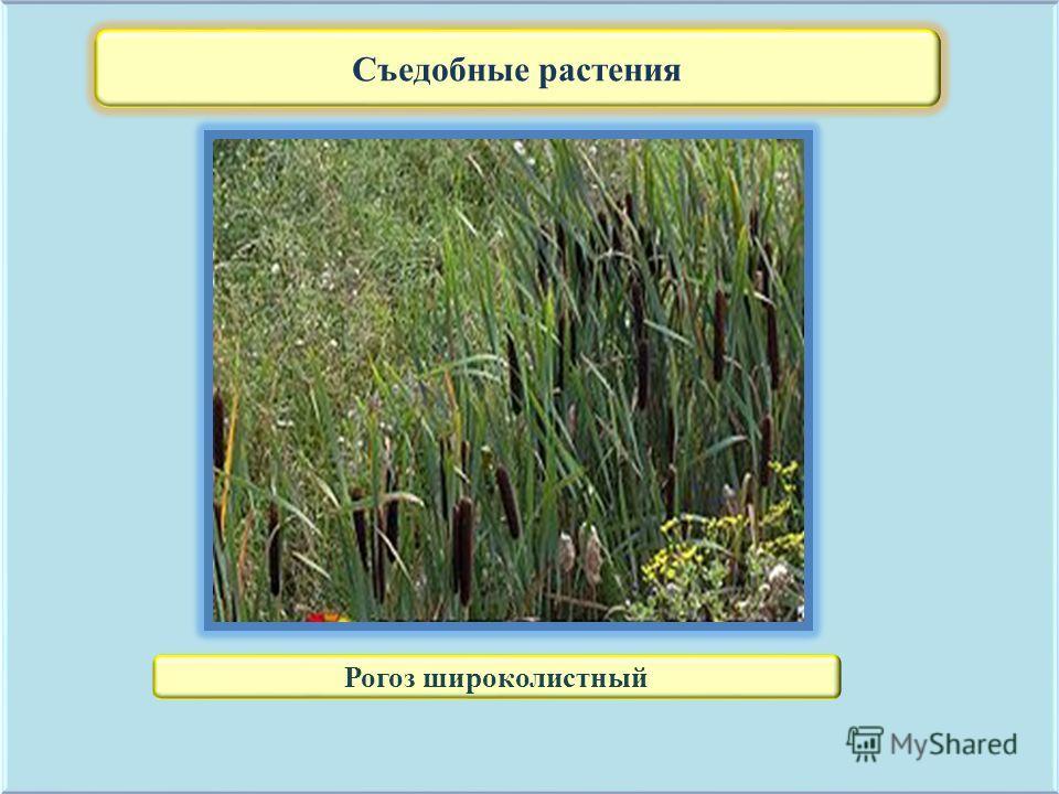 Съедобные растения Рогоз широколистный