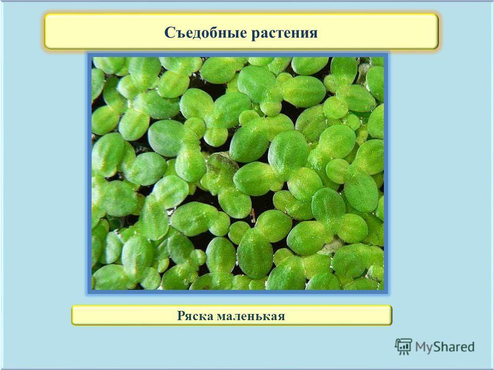 Съедобные растения Ряска маленькая
