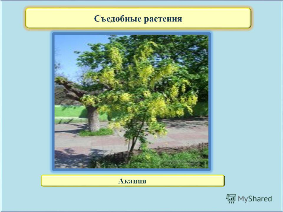 Съедобные растения Акация