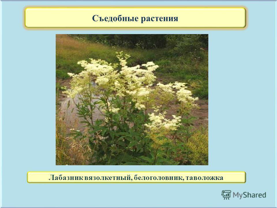 Съедобные растения Лабазник вязолкетный, белоголовник, таволожка