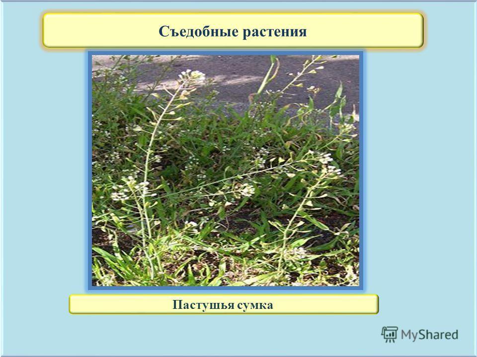 Съедобные растения Пастушья сумка