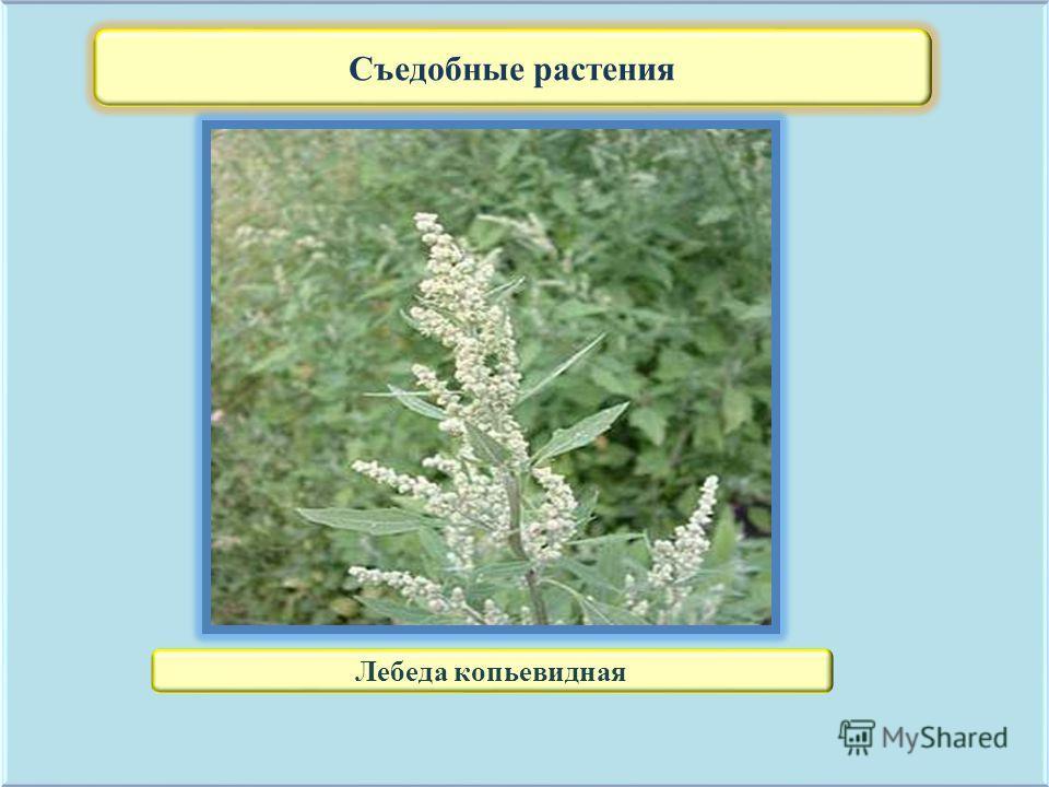 Съедобные растения Лебеда копьевидная