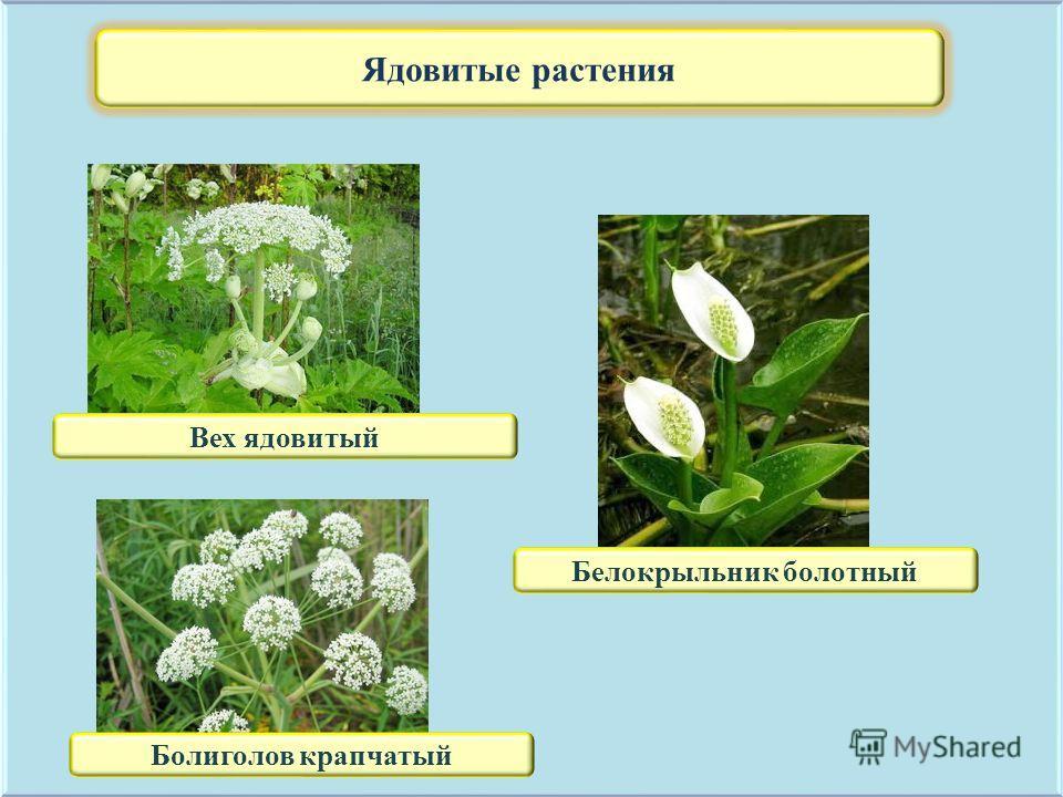 Ядовитые растения Вех ядовитый Белокрыльник болотный Болиголов крапчатый