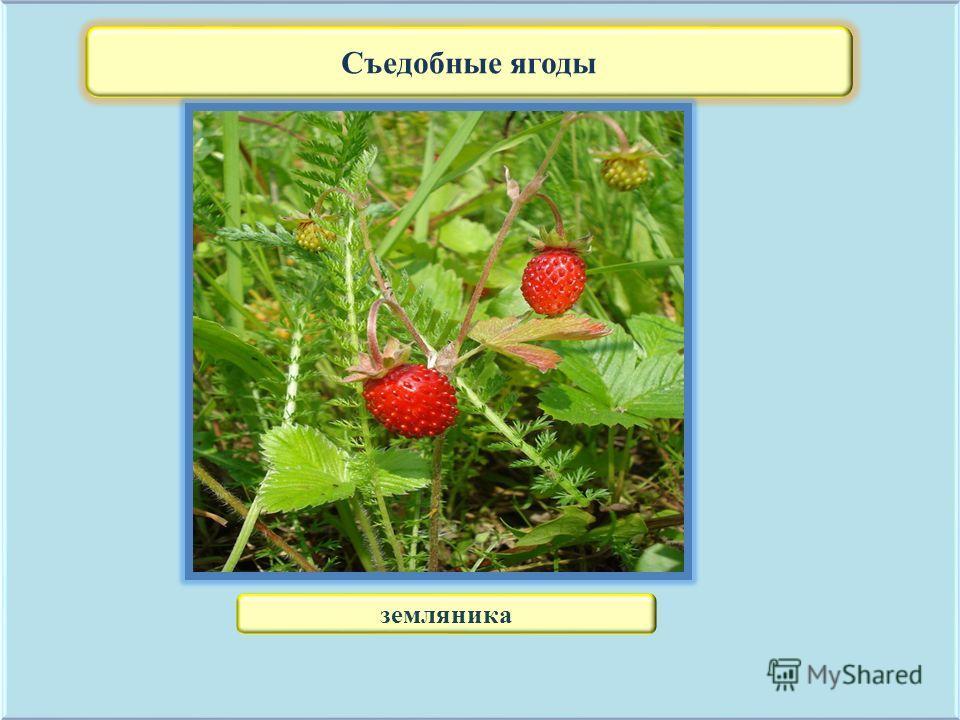 Съедобные ягоды земляника