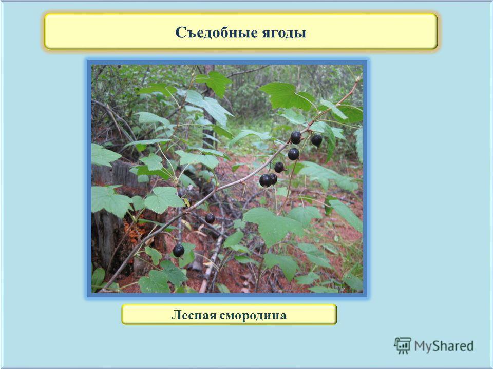 Съедобные ягоды Лесная смородина