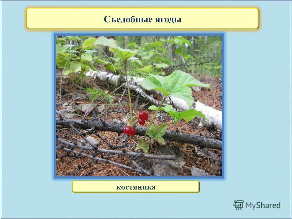 Съедобные ягоды костяника