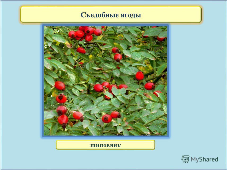 Съедобные ягоды шиповник
