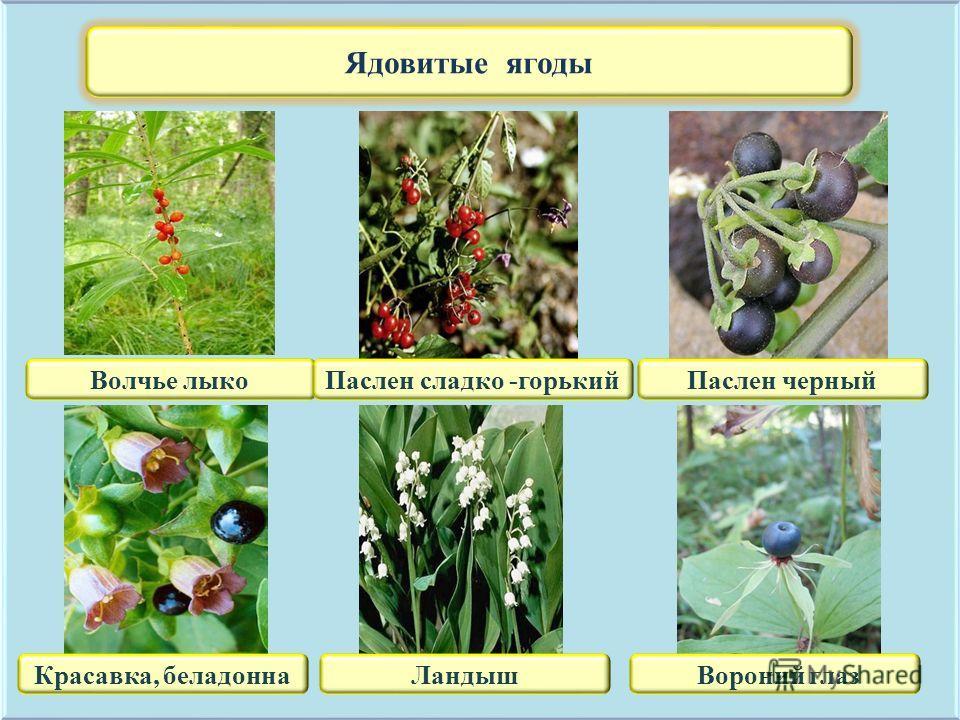 Ядовитые ягоды Волчье лыкоПаслен сладко -горькийПаслен черный Красавка, беладоннаЛандыш Вороний глаз